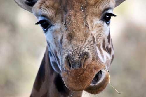 animal photography - giraffe closup crop