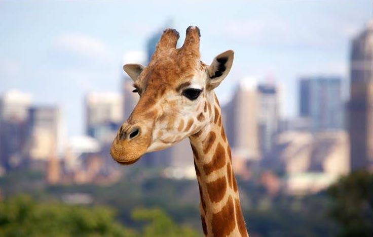 telephoto lens used to take image of giraffe