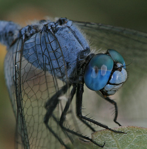 macro photograph of a blue dragonfly