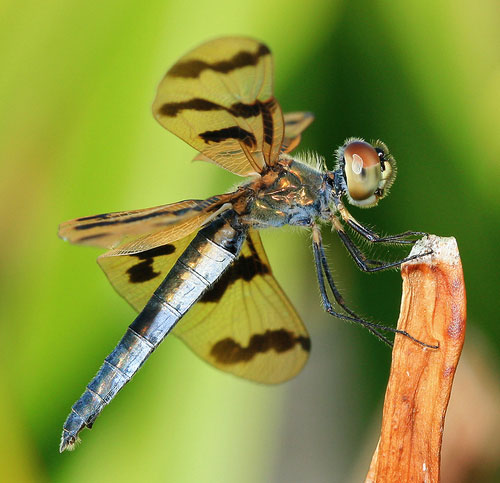 macro photography tips - full bodied dragonfly image