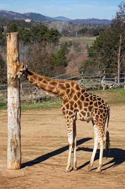 zoo photography - giraffe
