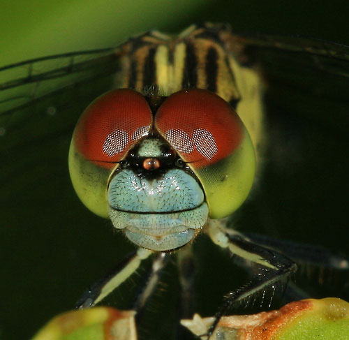 macro photograph of a dragonfly face