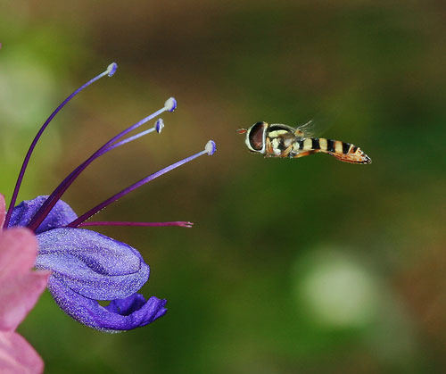 macro example of a hoverfly insect in flight
