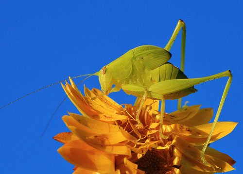 macro photography tips - image of a katydid