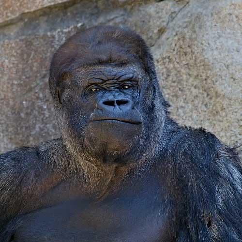zoo photography - silverback gorilla