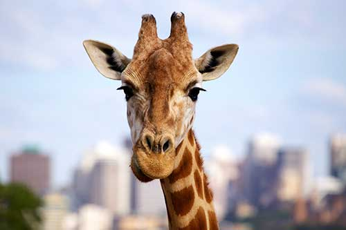 Photograph Animals Giraffe Photo