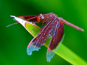 red dragonfly macro