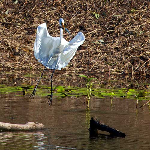 white bird catching fish photograph