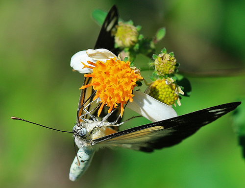 photograph of a butterfly feeding on pollen