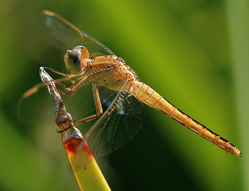 dragonfly photo taken with macro lens