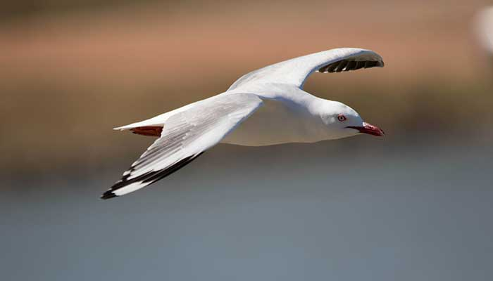 partial metering used on seagull image