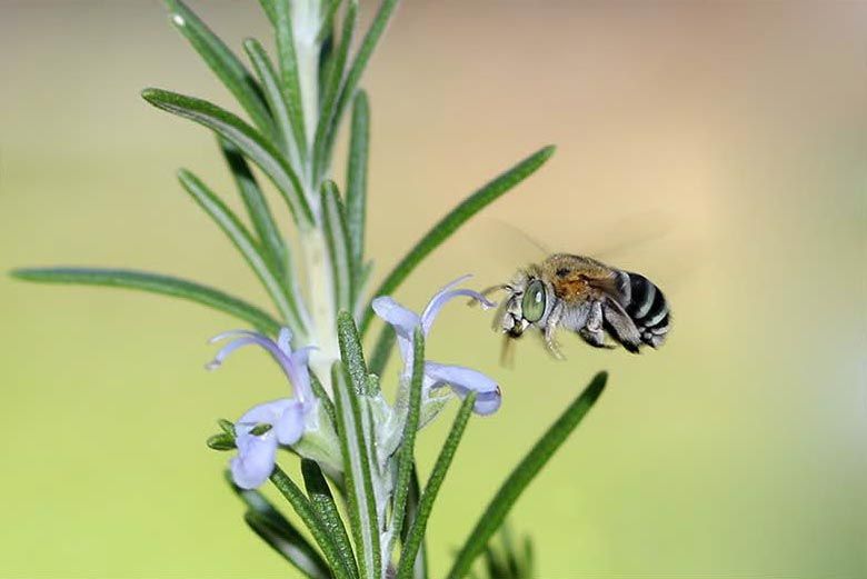 Macro photography shot of a blue banded bee