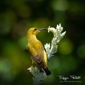 Sunbird bird photography blog image