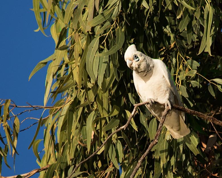 Corella in a tree.