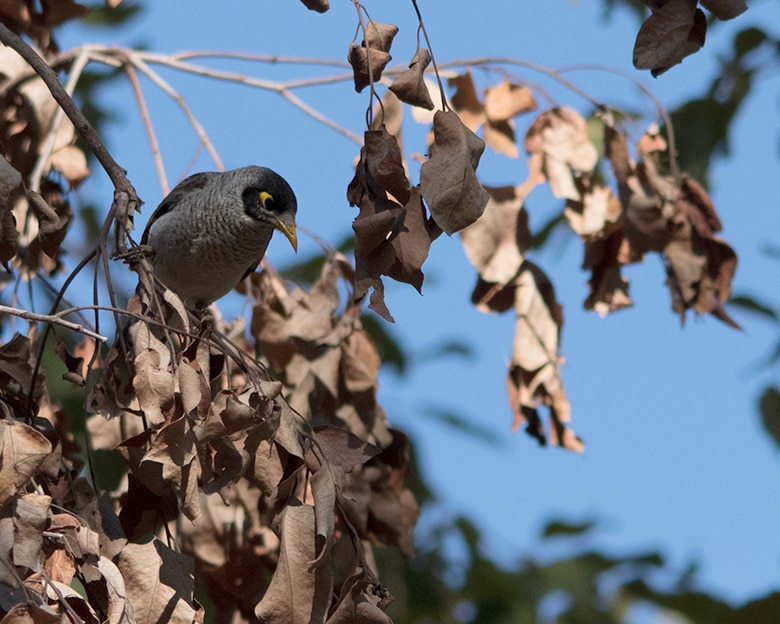 Common Myna bird.