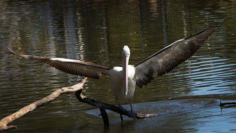 Pelican spreading wings make great bird photographers subject.