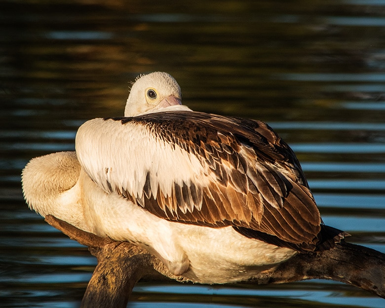 Pelican with neck tucked under wings.