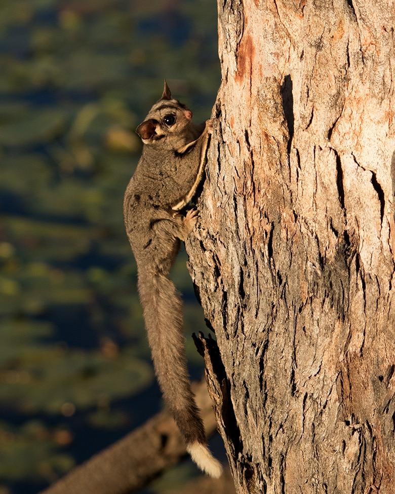 Sugar glider climbing tree.