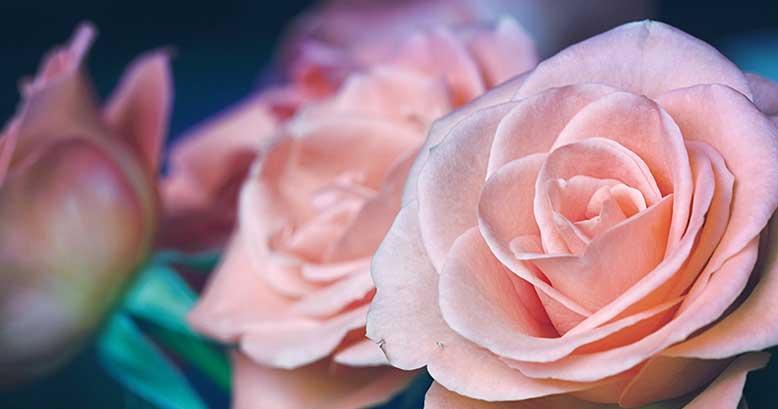 Small the roses garden photography